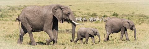 Elefant-Familie Stockfoto