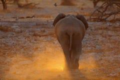 Elefant från baken Arkivbild