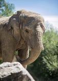 Elefant Front Profile Arkivfoton