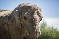 Elefant Front Profile Face Arkivfoton