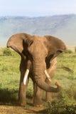 Elefant Gammalt och ilsket Ngorongoro Fotografering för Bildbyråer