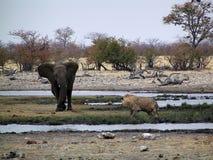 Elefant gegen Löwe Stockfotografie