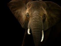 Elefant gegen schwarzen Hintergrund Stockfotos