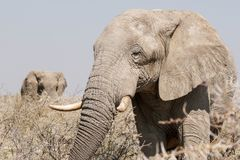 Elefant geht oben für einen näheren Blick Stockbild