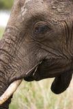 Elefant-Gesicht Stockfotografie