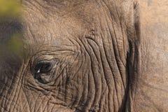 Elefant-Gesicht Lizenzfreies Stockbild