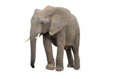 Elefant getrennt auf Weiß Lizenzfreie Stockfotos