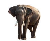Elefant getrennt auf Weiß Lizenzfreies Stockfoto