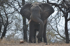 Elefant in größerem Nationalpark Kruger Lizenzfreies Stockfoto