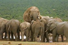 Elefant-Herde Lizenzfreies Stockfoto