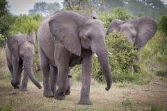 Elefant-Herde stockfoto