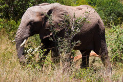 Elefant. A huge elephant in a grasfiled Royalty Free Stock Photo