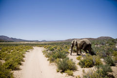 Elefant i africa Royaltyfri Bild