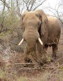 Elefant i borsten royaltyfri foto