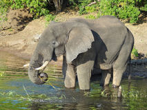 Elefant i Botswana Royaltyfri Foto