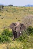 Elefant i buskebusksnåren Royaltyfria Bilder