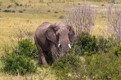 Elefant i buskebusksnåren kenya Royaltyfria Foton