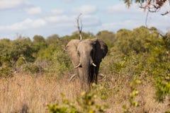 Elefant i busken Arkivfoto