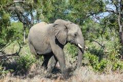 Elefant i busken Arkivbilder