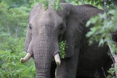 Elefant i den Hwage nationalparken, Zimbabwe, elefant, beten, loge för öga för elefant` s arkivfoto