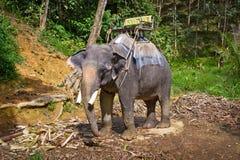 Elefant i den Khao Sok nationalparken Royaltyfria Bilder