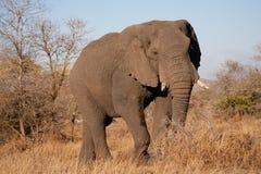 Elefant i den Kruger nationalparken Fotografering för Bildbyråer