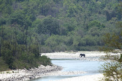 Elefant i dess livsmiljö nära den Ramganga floden, Jim Corbett Royaltyfria Foton