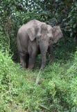 Elefant i djungeln Fotografering för Bildbyråer