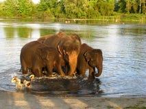 Elefant i floden Royaltyfri Bild