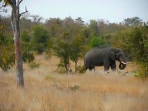 Elefant i gräset Arkivfoton