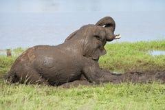 Elefant i gyttjebad Royaltyfri Bild