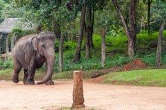 Elefant i kedjor Arkivbild