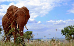 Elefant i Maasaimara Kenya Royaltyfria Foton