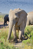 Elefant i morgonsolen Arkivbild
