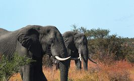 Elefant i natur Royaltyfri Fotografi