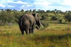 Elefant i naturen som är olifant Arkivbild