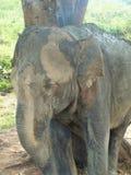 Elefant i naturligt omge i Sri Lanka Arkivbilder