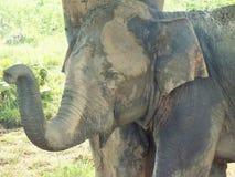 Elefant i naturligt omge i Sri Lanka Arkivbild
