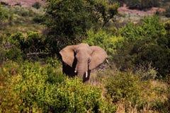 Elefant i Pilanseburg buske arkivbild