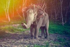 Elefant i selet för trekking med hans stam upp Arkivfoto