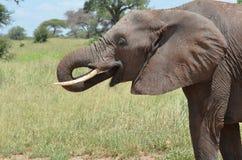 Elefant i serengetinationalpark i Tanzania Fotografering för Bildbyråer