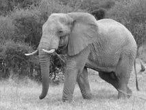 Elefant i speia Arkivbild
