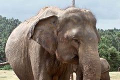 Elefant i Sri Lanka Fotografering för Bildbyråer