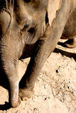 Elefant i Thailand Arkivfoton