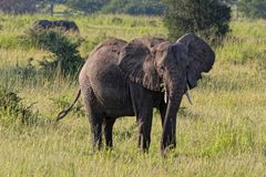 Elefant i Uganda Afrika Fotografering för Bildbyråer