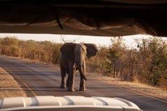 Elefant i Victoria Falls, Zimbabwe Arkivbilder