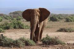 Elefant im amboseli lizenzfreies stockbild