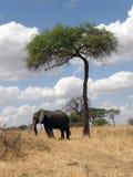 Elefant im Farbton eines Baums Stockfotografie