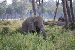 Elefant im langen Gras Stockfotos