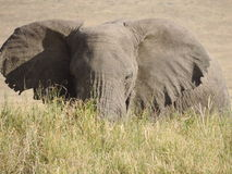 Elefant im langen Gras Lizenzfreies Stockfoto